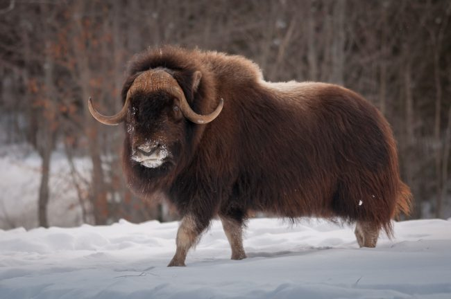 weight of an ox
